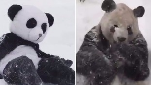 Man 'recreates' video of giant panda enjoying US snowstorm