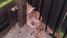 A terrified fox found in Middlesbrough