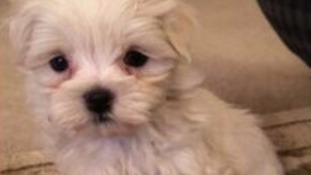 Nine-week-old puppy snatched from her bed by thieves in Essex