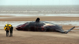 Whale washed-up on a beach near Gibraltar Point in Skegness, Lincolnshire
