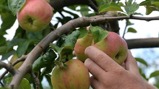 Fruit farmer Hein Luehs harvests apples of the Grafenstein variety on his apple plantation in Jork, Germany