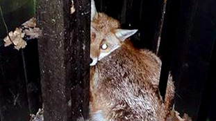 Freedom for fox found cowering from group of youths and dog