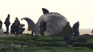 Arrangements almost in place to remove dead whale