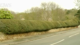 Pensioner loses fight to save hedge from chop