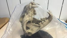 The leopard skull seized by police