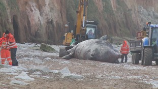 Dead whale finally being removed