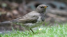 A Black-Throated Thrush