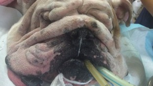 Bulldog gets facelift because his head was too wrinkly