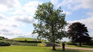 Welsh Oak