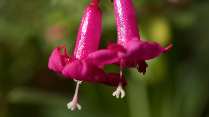 Blooming weird why flowers are blossoming as early as february early colour at eden includes the diminutive deep pink flowers of the fuchsia microphylla credit emily whitfield wicks mightylinksfo Image collections