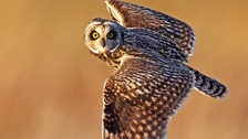A short-eared owl checks out a wildlife photographer mid-flight.
