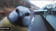 Bird 'photobombs' railway webcam in mid Wales