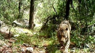 The jaguar is captured roaming around his home in the Santa Rita Mountains in the US