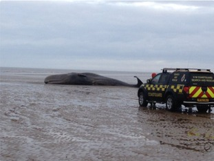 A sperm whale is stranded on a beach at Old Hunstanton
