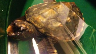 'Extremely weak' rescue turtle beginning to recover