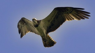 Ospreys typically migrate to West Africa in the winter