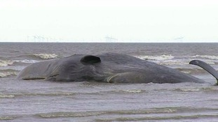 The stranded sperm whale on Thursday.