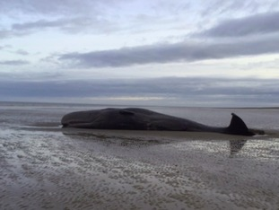 The whale at Hunstanton on Thursday.