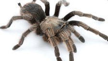 New species of tarantula named after singer Johnny Cash