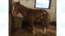 Thin and injured pony