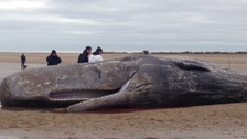 Post-mortem for sperm whale which died after Norfolk beach stranding