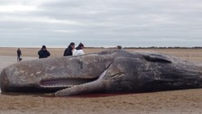Experts are trying to find out why the sperm whale died.