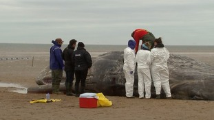 Scientists take samples from a sperm whale which washed up on the Norfolk coast