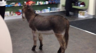 Little donkey: staff at Wirral pharmacy had a surprise visitor