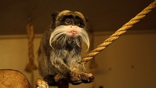 Blackpool Zoo is celebrating the start of the Chinese Year of the Monkey