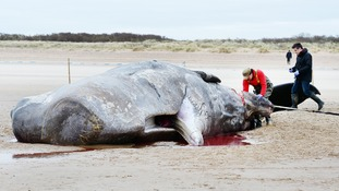 Why are sperm whales getting stranded in the UK?