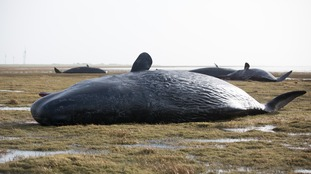 Dead sperm whales on the mudflats near the Kaiser-Wilhelm polder in Germany.