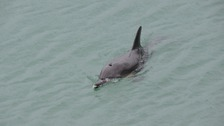 Young dolphin still swimming in Jersey marina