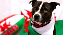 Touch, paws, engage! Pets prepare for Wales' clash against Ireland