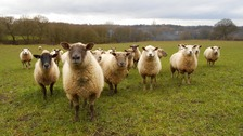 Sheep in field looking at cameraman
