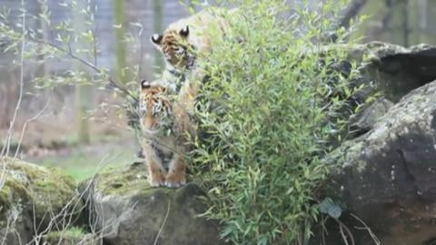 tiger_video_for_web