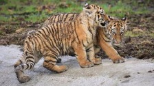 Two five-month-old Amur tiger cubs have gone on show at Woburn Safari Park for the first time.