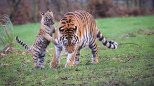 One of the cubs encourages mum Minerva to join in the fun.