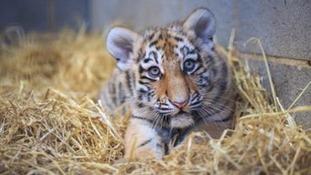 A five-month-old Amur tiger cub at Woburn Safari Park.