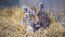 Critically endangered tiger cubs explore new home