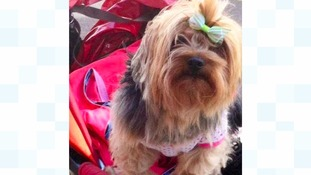 Dog-napped Yorkshire Terrier was dressed in pink baby clothes