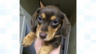 Ralph the Dachshund puppy