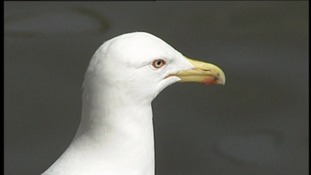 New research tackles 'urban gulls'