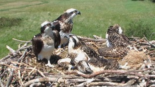 GP moves 200 miles to be closer to Welsh ospreys