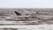 'Stranded' whale search stood down after no recent sightings