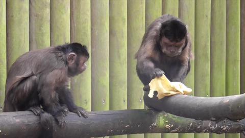 Capuchins Flip for Pancake Day NO AUDIO