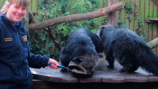 Binturongs enjoy their pancakes