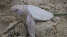 Rare albino turtle spotted on a beach in Queensland