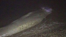 'Giant squid' theory quashed after minke whale washes up in Norfolk