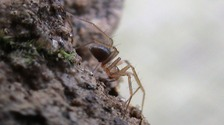 UK's rarest spider 'filmed alive for first time'