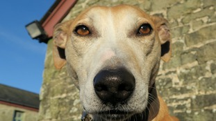 Is Hudson the lurcher 'the most beautiful dog in Wales'?